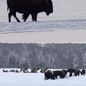 The Great North Country Buffalo Hunt Jan. 15 , 2020.